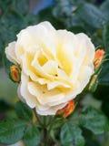 Zakończenie ładni żółci płatki róży roślina up odizolowywa ogrodowego ro Obraz Royalty Free