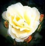 Zakończenie ładni żółci płatki róży roślina up odizolowywa ogrodowego ro Zdjęcie Royalty Free