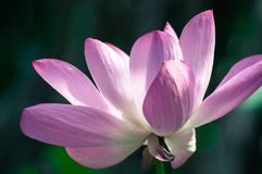 Zakończenie święty lotos, piękni różowi płatki fotografia royalty free