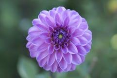 Zakończenie światło - fiołkowy dalia kwiat Zdjęcie Stock