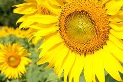 Zakończenie świeży słonecznik Obraz Royalty Free