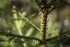 Zakończenie świerkowy drzewo Zdjęcie Royalty Free
