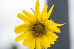 Zakończenie żółci dzicy kwiaty obrazy royalty free