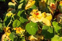 Zakończenie żółta nasturcja kwitnie przy świtem w ogródzie zdjęcia royalty free