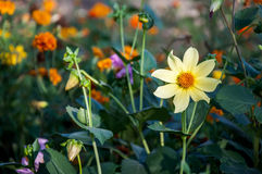 Zakończenie żółty kwiat (Anemonowy japonica) zdjęcia royalty free