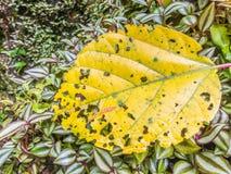 Zakończenie żółty liścia tło Zdjęcia Stock