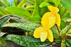 Zakończenie żółty Paphiopedilum zdjęcia stock