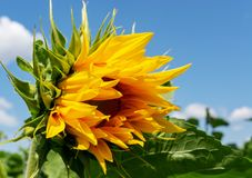 Zakończenie Żółty słonecznik przeciw niebieskiemu niebu Obraz Royalty Free