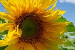 Zakończenie Żółty słonecznikowy tło z niebieskim niebem Obrazy Stock