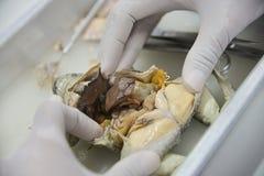 Zakończenie żaba i rybi porównawczy anatomii rozcięcie w biol zdjęcie stock