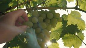 Zakończenie żeńska ręka drzeje z gałąź zielonych winogrona winogron target6_0_ zbiory wideo