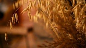 zakończenie życie ucho dla tła Bukiet od suchych złocistych kolców zboża zbiory wideo