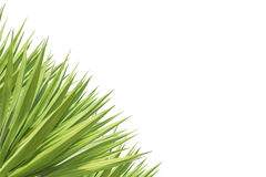 Zakończenie agawy up zielona roślina odizolowywająca na bielu Fotografia Royalty Free