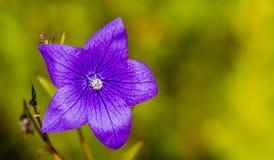 Zakończenie błękitna gwiazda up kształtował żyłkowatego kwiatu Obraz Royalty Free