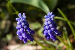 Zakończenie błękitna wiosna up kwitnie gronowego hiacynt w wiośnie z naturalnym zielonym tłem Fotografia Stock