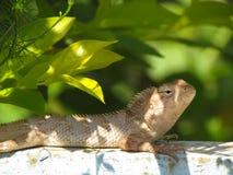 Zakończenie błonie ogródu jaszczurki wygrzewać się Obrazy Royalty Free