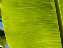 Zakończenie bananowy liść dla tła Zdjęcie Royalty Free