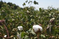 Zakończenie bawełniana kapsuła w bawełnianym polu Zdjęcie Royalty Free