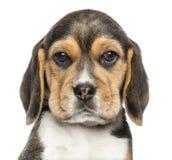 Zakończenie Beagle szczeniak patrzeje kamerę, odizolowywający Zdjęcie Royalty Free
