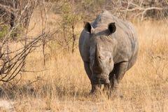 Zakończenie biała nosorożec w krzaku z twardą marszczącą skórą Obrazy Stock