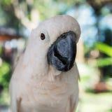 Zakończenie biała papuga przy Bali ptaków parkiem Obrazy Royalty Free
