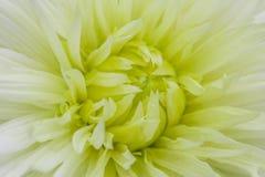 Zakończenie białego fiołka dalia w kwiacie Obraz Royalty Free