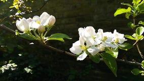 Zakończenie biały jabłczany okwitnięcie zbiory wideo