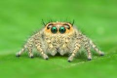 Zakończenie bocznego widoku bluzy pająka Hyllus cf semicupreus Zdjęcia Royalty Free