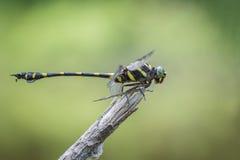 Zakończenie bocznego widoku Upierścieniony Dragonfly, Ictinogomphus decoratus Zdjęcie Stock