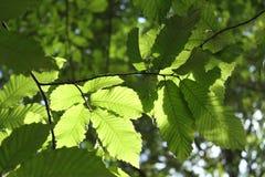 Zakończenie buk up opuszcza w świetle słonecznym podkreślającym w lesie zdjęcia royalty free