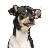 Zakończenie chihuahua szczeniak, 6 miesięcy starych Zdjęcie Stock