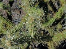 Zakończenie cierń na kaktusowym drzewie up jest jeden szeroko uznani symbole Southw saguaro carnegia kaktusowy gigantia Zdjęcia Stock