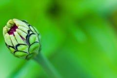 Zakończenie cynia kwiatu pączek Zdjęcie Stock