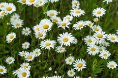 Zakończenie część piękni dzicy daisys kwitnie w wiatrze Letni Dzień Po deszczu Pojęcie sezony, ekologia, zieleń obrazy royalty free