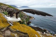Zakończenie Czarnobrewy albatros z rozciągniętymi skrzydłami Obraz Stock