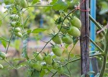 Zakończenie Czereśniowego pomidoru niedojrzały zielony obwieszenie na gałąź zdjęcia royalty free