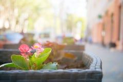 Zakończenie czerwień up kwitnie na zamazanym tle nowożytna ulica w Zdjęcie Royalty Free