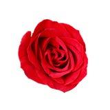 Zakończenie czerwieni róża odizolowywająca na białym tle Fotografia Stock