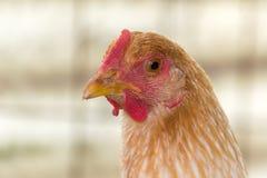 Zakończenie czerwona kurczak głowa Zdjęcie Stock