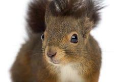 Zakończenie Czerwona wiewiórka zdjęcia stock