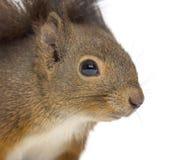 Zakończenie Czerwona wiewiórka fotografia royalty free