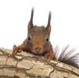 Zakończenie Czerwona wiewiórka lub Eurazjatycka czerwona wiewiórka chuje za gałąź, Sciurus vulgaris, zdjęcie stock