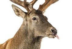 Zakończenie Czerwonego rogacza jeleń obrazy royalty free