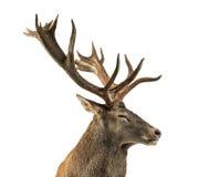 Zakończenie Czerwonego rogacza jeleń fotografia royalty free