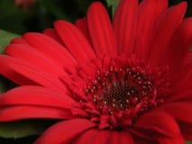 zakończenie Czerwony Gerber stokrotki kwiatu okwitnięcia kwiatu płatek Zdjęcie Stock