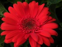 zakończenie Czerwony Gerber stokrotki kwiatu okwitnięcia kwiatu płatek Obrazy Royalty Free