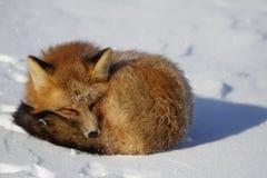 Zakończenie czerwony lis fryzował up w snowbank blisko Churchill, Manitoba Kanada Obraz Stock