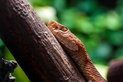Zakończenie czerwony wąż Zdjęcie Stock