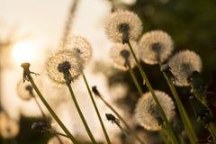 Zakończenie dandelion up kwitnie przy polem przed słońcem Obrazy Royalty Free