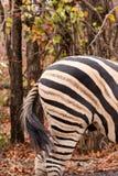 zakończenie dno równiny zebra w sawannie, Południowa Afryka, Mapungubwe park zdjęcia stock